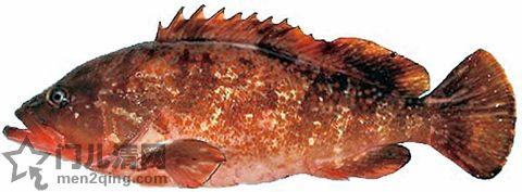 食材-石斑鱼(雉羽太)