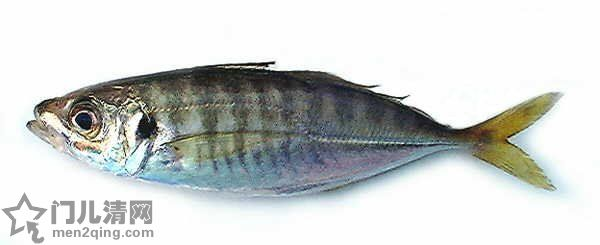 食材-鲹鱼(鯵)