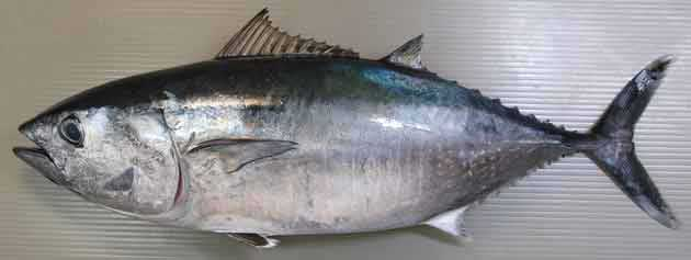 食材-金枪鱼(鮪 まぐろ)