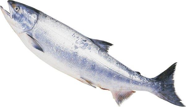 食材-三文鱼(鮭 さけ、しゃけ、サーモン)