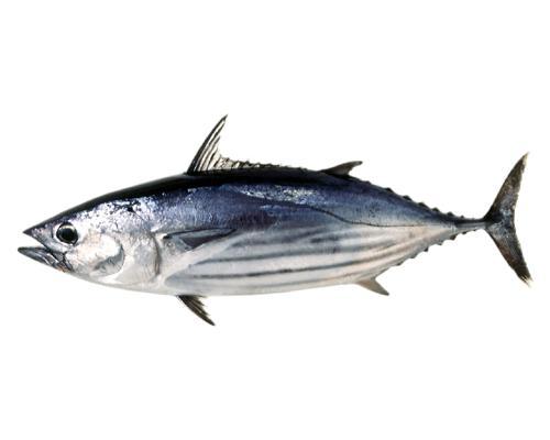 食材-鲣鱼·木鱼·柴鱼(鰹)-旬的食材-海鲜