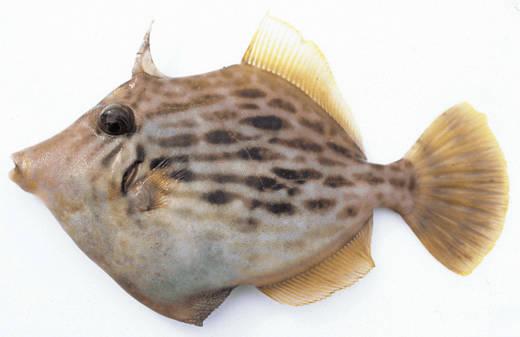 食材-马面鱼(皮剥 かわはぎ)-旬的食材-海鲜