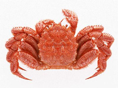 食材-毛蟹(けがに)