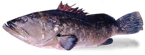 食材-褐带石斑鱼(クエ)