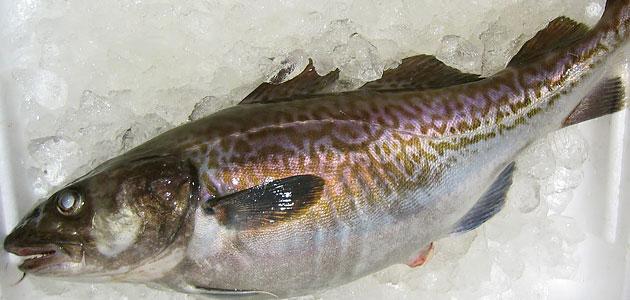 食材-银鳕鱼(鱈 たら)