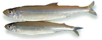 食材-公鱼(わかさぎ)